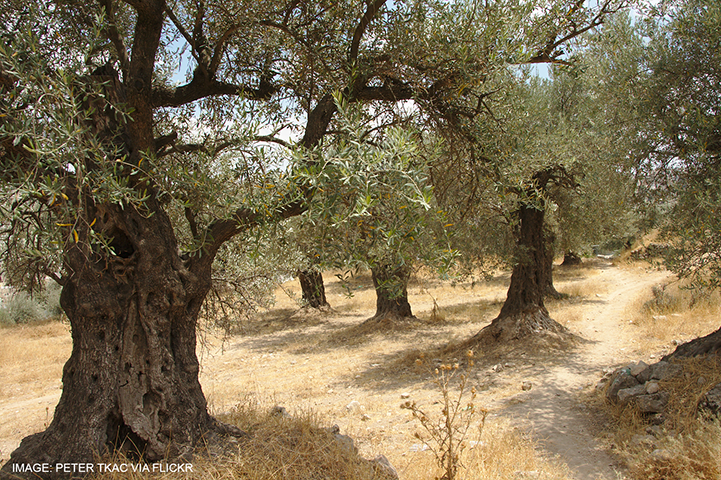 West Bank Olive Grove