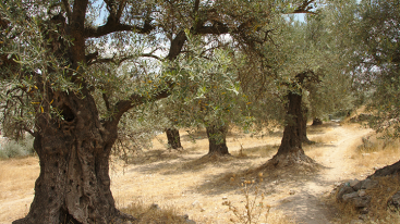 West Bank Olive Grove - GPRBA